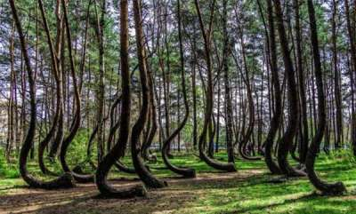 environment-oddly-shaped-pine-trees-poland