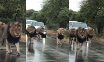 latest-news-viral-video-four-lion-on-busy-road