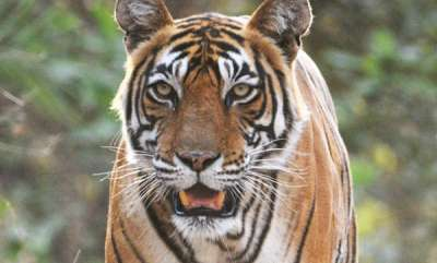latest-news-an-adult-tigress-was-killed-and-eaten-by-a-tiger