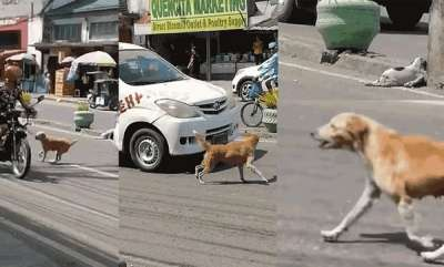 latest-news-mother-dog-barks-runs-traffic-tries-help-puppy
