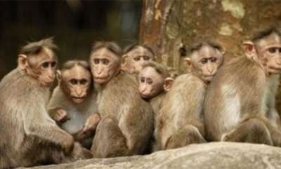 latest-news-monkeys-dying-in-wayanad-monkey-fever-report
