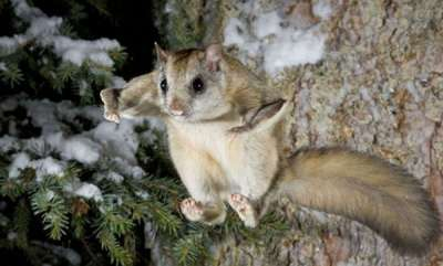 environment-scientists-discover-flying-squirrels-that-turn-hot-pink