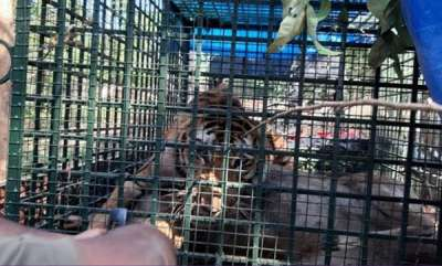 latest-news-tiger-trapped-in-wayanadu