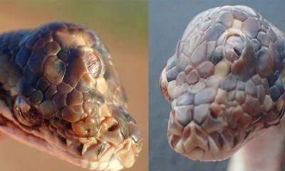 latest-news-snake-born-with-three-eyes