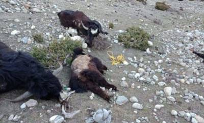 latest-news-300-himalayan-yaks-starve-to-death-in-sikkim