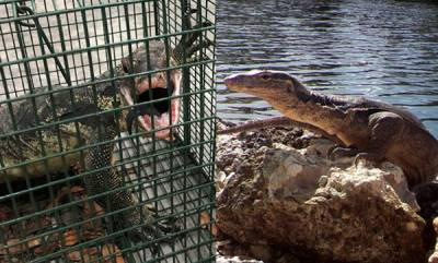 environment-florida-captures-kills-giant-lizard