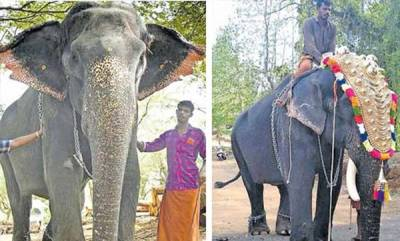 latest-news-shortage-of-elephants-indira-given-a-make-over-to-turn-her-into-kesavan