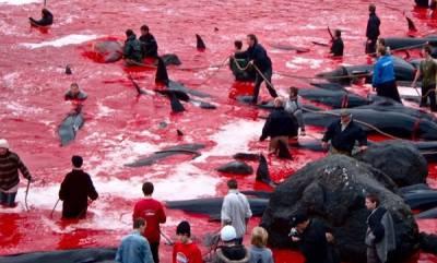environment-faroe-island-whale-hunt