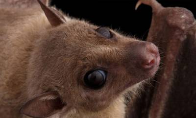 environment-female-fruit-bats-news