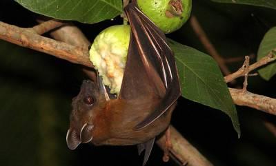 latest-news-nipah-virus-from-bat