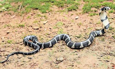 environment-king-cobras-caught-in-edakkara