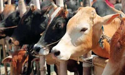 latest-news-cow-vigilantes-madyapradesh