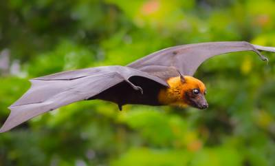 latest-news-11-bat-species-found-i-n-kerala-are-potential-carriers-of-nipah-virus