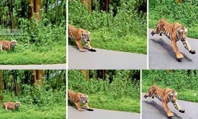 latest-news-tiger-seen-in-wayanadu
