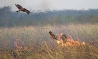 latest-news-birds-deliberately-setting-forests-on-fire-in-australia