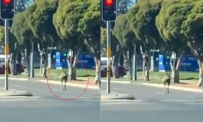 environment-only-in-australia-kangaroo-bounces-through-city-runs-red-light