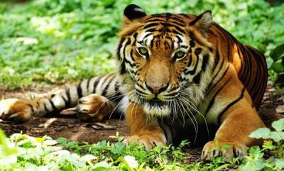 environment-with-around-3000-tigers-india-one-of-the-safest-habitats-in-world
