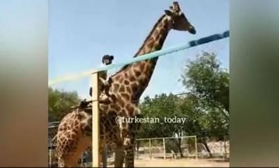 environment-drunk-man-climbs-fence-rides-giraffe-at-zoo-then