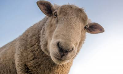 latest-news-husband-gets-71-sheep-to-compensate-for-wife-who-eloped