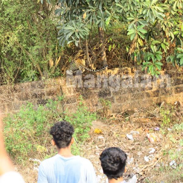 kannurill ninnu puliye mayakkuvedivechu pidichappol.... photo  By:-  krishnan kanhirangad