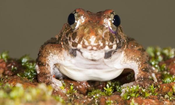 Four New Frog Species,Discovery,Western Ghats