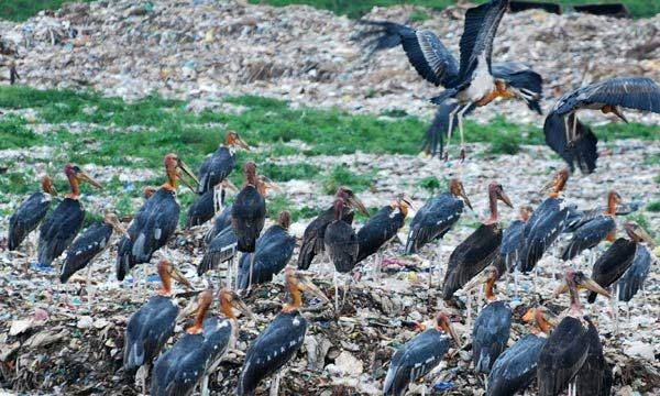 Villagers learnt, Ugly bird  Extinction