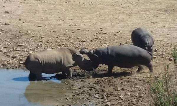 Hippo, Rhino