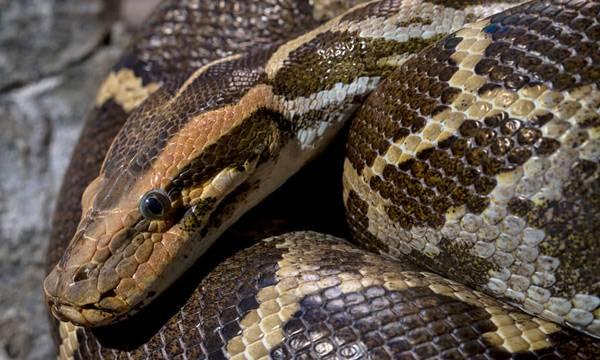 Python,  Thodupuzha