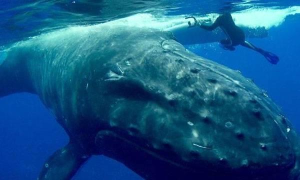 Whale, Snorkeler,  Tiger shark