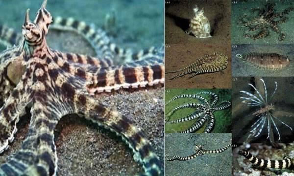 Imitating Mimic Octopus