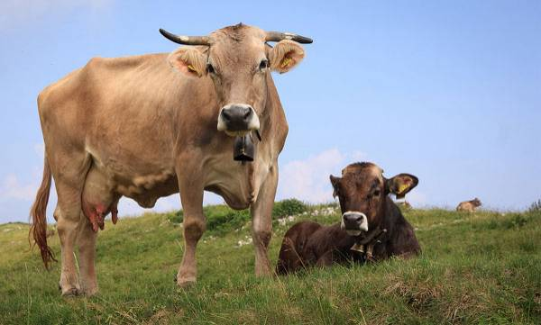 Funny essay on cow