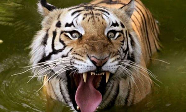 environment-over-rise-in-tiger-deaths-in-mp