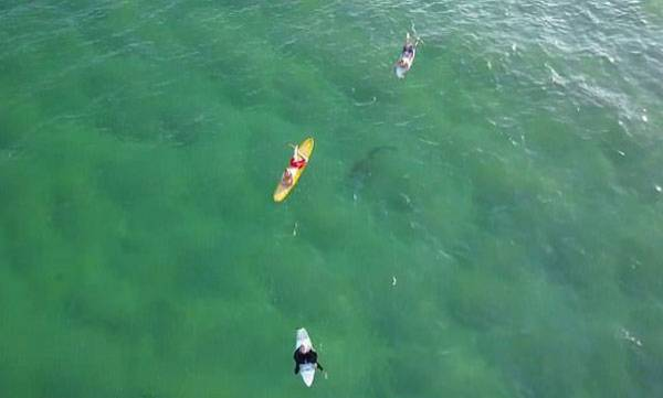 environment-terrifying-moment-a-drone-captures-a-monster-shark-lurking-under-a-group-of-surfers