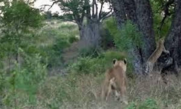 Tree,lionesses,commandeer