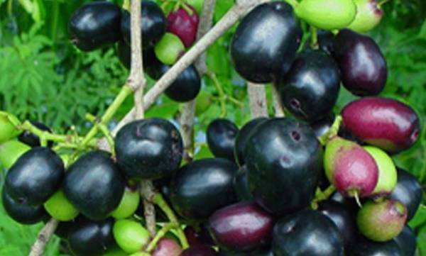 Java Plum, Price, 400