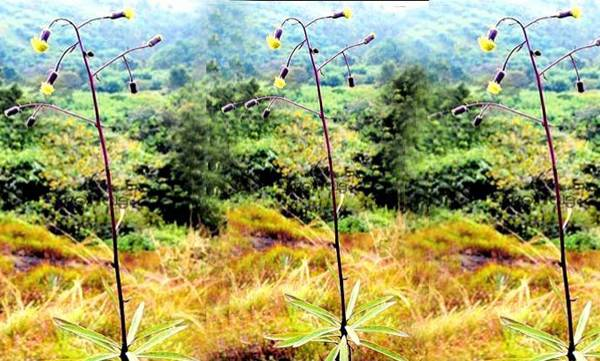 New plant,Discovered ,Western Ghats