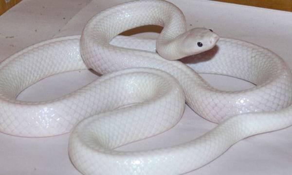 'Albino' snake, Mutation, Discovered