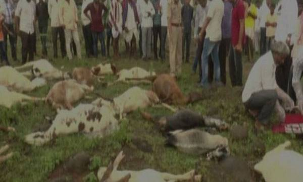 Karnataka, 34 sheep Died,  Chemical poisoning