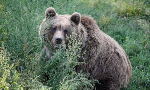 Grizzly bears, Vegetarian,  Climate change