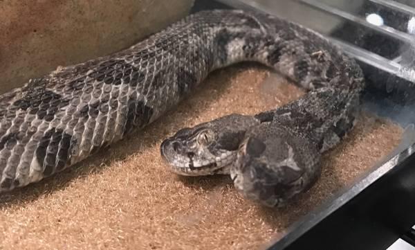 Two-headed snake, Viper, America