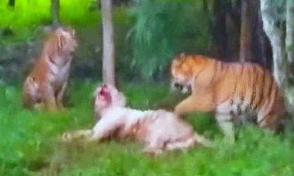 environment-a-white-tiger-died-after-it-was-attacked-by-two-other-tigers
