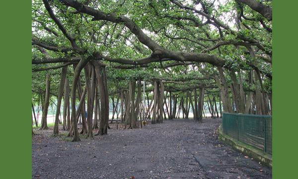 255-year-old, Great Banyan
