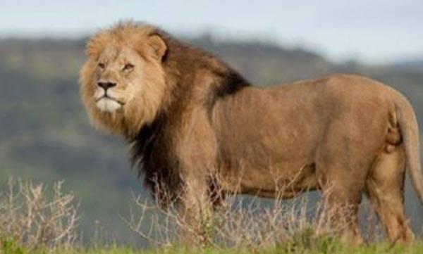 Limpopo lions,  Muti
