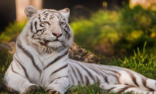 White Tiger, Bengaluru's Bannerghatta Park