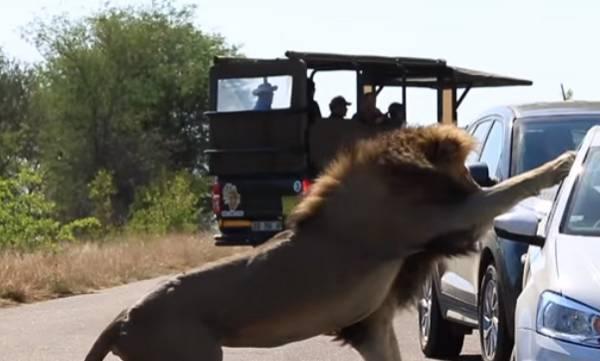 Kruger Lion, lioness rejects