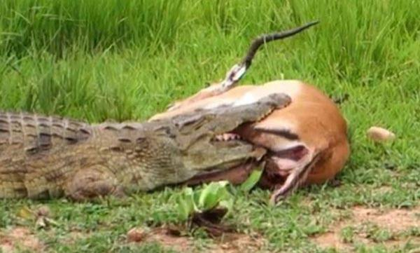 environment-gigantic-crocodile-chews-on-helpless-impalas-legs-what-happens-next-is-incredible