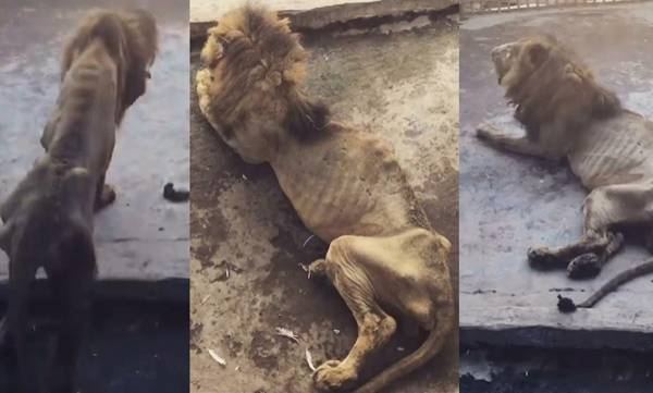 Malnourished lion,  Zoo
