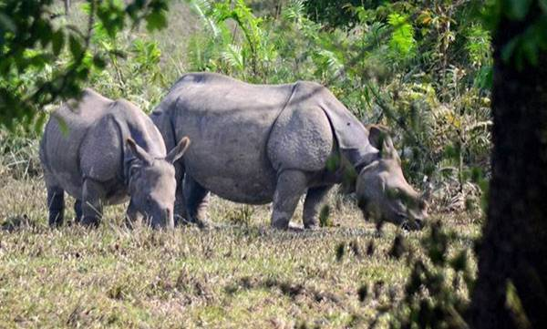 Manas National Park,  Rhinos