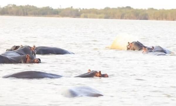 environment-bull-shark-takes-on-a-ferocious-herd-of-hippos