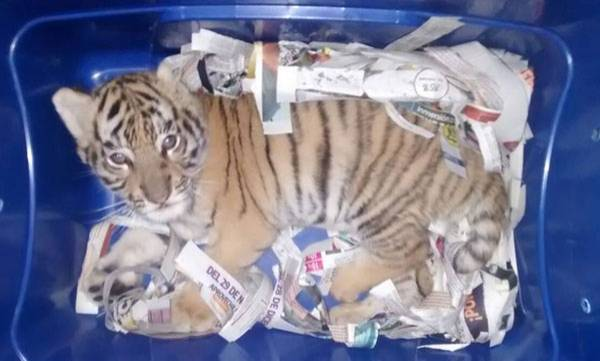 Tiger cub found in mail by Mexican sniffer dog